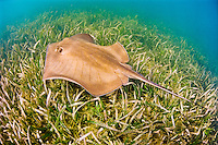 Southern Stingray (Dasyatis americana) swimming over Turtlegrasses (Thalassia testudinum) in shallow flats, Stiltsville, Biscayne National Park, Miami, Florida, USA, Caribbean Sea, Atlantic Ocean