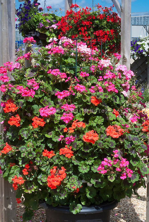 Annual Geranium In Hanging Basket Pelargonium Antik Mixed