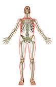 An inferior anterior view of the lymphatic system. The surface anatomy of the body is semi-transparent and tinted red. Royalty Free
