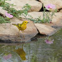 Early morning Yellow Warbler and wild Primrose.