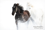 Black and white horses galloping in the snow
