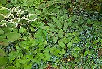 Ground cover plant mixture: variegated Hosta, Vinca minor, viola violets, pulmonaria, mertensia in shade garden