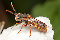 Cuckoo Bee (Nomada sp.), West Harrison, Westchester County, New York
