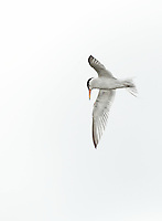 Least Tern in flight against a very cloudy sky