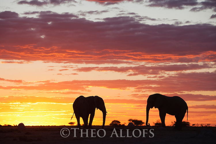 Botswana, Nxai Pan National Park, African elephant bulls (Loxodonta africana) silhouetted against sky at sunset