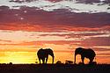 Botswana, Nxai Pan National Park, African elephant bulls (Loxodonta africana) silhouetted against sky at sunset