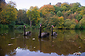 2016_11_12_dimmingsdale_autumn_swans