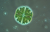 Green algae (Micrasterias) desmid LM X100