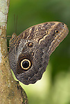 Owl Butterfly, Caligo memnon, adult on tree trunk, Costa Rica, Family: Brassolidae, tropical jungle.Costa Rica....