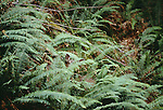 Black-tailed or mule deer doe hides in sword ferns, Olympic National Park, Washington, USA