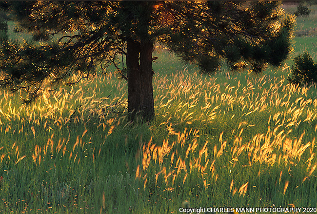 The setting sun back lights up a pine tree and some lush late summer grasses to create a bucolic scene on Rowe Mexa, a mountain plateau near the village of Pecos, New Mexico.