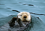 Sea otter, Alaska, USA