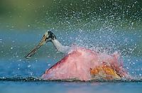 Roseate Spoonbill, Ajaia ajaja, adult bathing, Welder Wildlife Refuge, Sinton, Texas, USA
