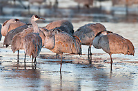 Sandhill Cranes standing in icy water