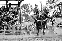 All eyes on him, a bull rider hangs on after the gate is opened.<br />