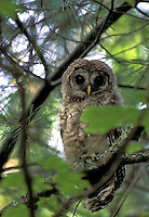 #B3 Young Barred Owl