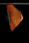 Juvenile batfish (Platax sp.) North Raja Ampat, West Papua, Indonesia