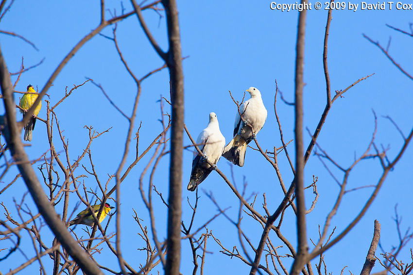 Pied Imperial-Pigeons with Figbirds, Darwin, NT, Australia