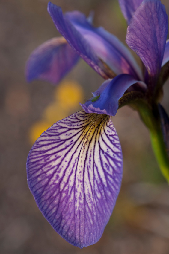 Blue Flag Iris at Isle Royale National Park.