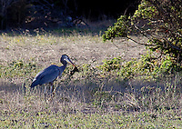 A Great Blue Heron caught, lost , then caught again a small mammal in open space north of Half Moon Bay, CA.