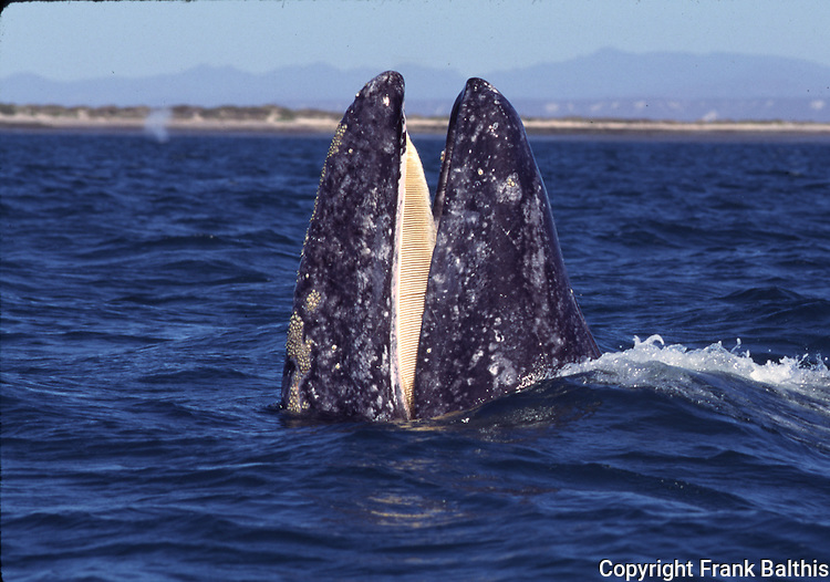 gray whale and baleen at Laguna San Ignacio