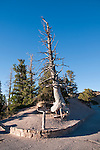 USA, Utah, bristlecone pine tree at Bryce Point in Bryce Canyon National Park.
