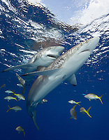 TH2565-Dv. Silky Sharks (Carcharhinus falciformis), widespread distribution throughout global tropical seas. Note teeth in open mouth of the shark behind. Cuba, Caribbean Sea. Cropped to vertical from native horizontal format.<br /> Photo Copyright &copy; Brandon Cole. All rights reserved worldwide.  www.brandoncole.com