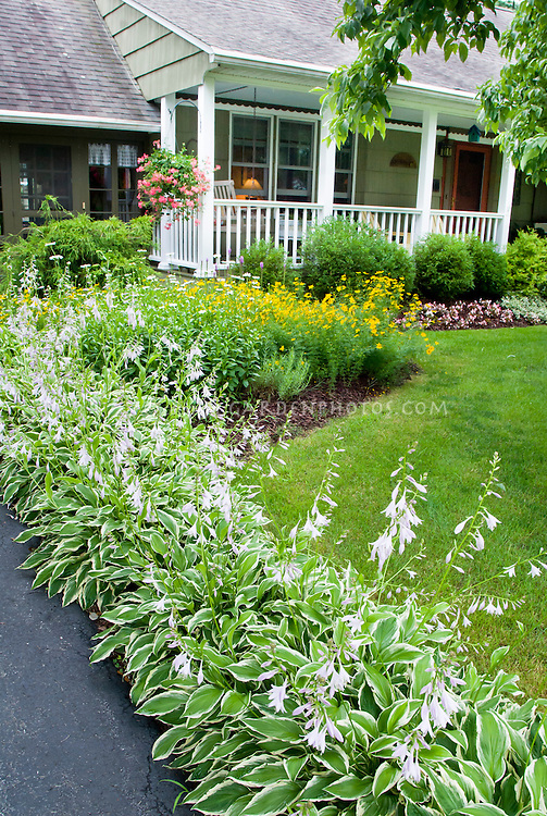 Row of hostas in bloom lining driveway, pretty curb appeal landscaping to front porch of house, speciment tree in center of lawn grass rimmed with shade perennial hostas, shrubs, flowers, containers, hanging basket pots