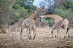 Central Africa , Kordofan giraffe (Giraffa camelopardalis antiquorum)