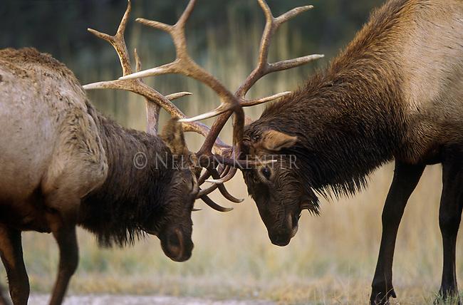 Sparring Bull Elk in the fall rutting season in Montana