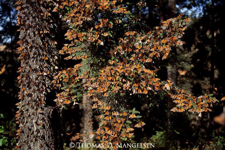 gallery for gt swarm of monarch butterflies