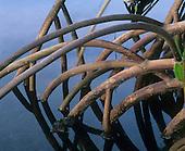 Mangrove roots, Kapoho Hawaii, USA.
