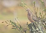 Eared dove, Zenaida auriculata, sits on a fence post in fog near Yanacocha Reserve, Ecuador