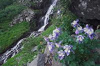 Waterfall and wildflowers in rock ledge,Blue Columbine,Colorado Columbine,Aquilegia coerulea, Ouray, San Juan Mountains, Rocky Mountains, Colorado, USA