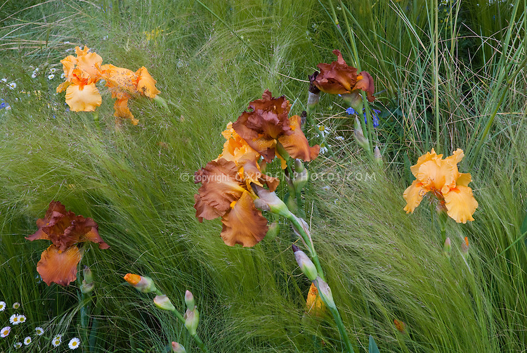 Irises Bearded Orange with ornamental perennials grasses