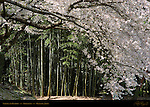 Bamboo and Sakura Korakuen Okayama Japan