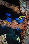 Orchid Island, Taiwan -- Two Moorish Idols, Zanclus comutus, inside the Ba Dai ship wreck.