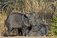 650520241 wild javelina or collared peccaries dicolyties interact on beto gutierrez santa clara ranch hidalgo county lower rio grande valley texas united states