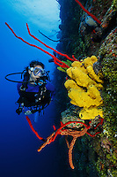 TR1834-D. Scuba diver (model released) swimming along wall decorated in colorful sponges. Many species shown here, including red Erect Rope Sponge (Amphimedon compressa) and yellow Branching Tube Sponge (Aiolochroia crassa). Cayman Islands, Caribbean Sea.<br /> Photo Copyright &copy; Brandon Cole. All rights reserved worldwide.  www.brandoncole.com