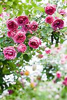 A 'Parade' rose bush in full bloom