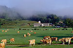 Jersey Cows on a farm in Vermont, with morning mist
