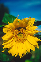 DAISY FAMILY (COMPOSITAE OR ASTERACEAE)<br /> Sunflower Blossum (Helianthus)