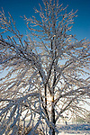 The early morning sun rises through an snow covered tree after a winter storm dumped several inches on Chicagoland.