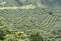 Coffee plantation or finca in the mountains of western El Salvador