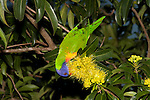 A Rainbow Lorikeet (Psittacidae: Trichoglossus haematodus) feeds on nectar from a Golden Penda tree (Myrtaceae: Xanthostemon chrysanthus). These birds are a common and pugnacious species in suburban gardens. Wild birds are found from the Kimberley area of Western Australia (with an orange collar), eastwards across coastal northern Australia and down the east coast to Victoria. A woodland species, birds may be nomadic gathering nectar from flowers of, particularly, Eucalyptus trees, which they gather with a brush-tipped tongue. Brisbane, Queensland, Australia. Length to 30cm; wingspan to 45cm. Also known as Blue Mountain Lorikeet/Parrot, Swainson's Lorikeet, and Coconut/Rainbow Lory.   /  Golden Penda - naturally occurs in rainforest along the coastal strip of eastern Cape York Peninsula. Height to 20m; canopy to 12m diameter; flowers in summer and autumn.