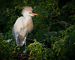 Cattle Egret, Osceola County, Florida