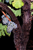 Ripe Gewurtztraminer Grapes hanging on Vine, South Okanagan Valley, BC, British Columbia, Canada