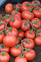 Red ripe fresh tomatoes on stems picked, with many tomato vegetables in a pile