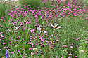 Echinacea pallida amidst Carthusian pinks (Dianthus carthusianorum) in a mixed prairie-meadow planting, end June.