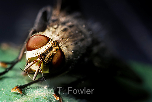 Tachinid fly  Tachinomia panaetrius  parasitic insect